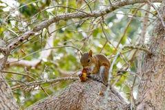 Scenisk ekorre som äter i trädet royaltyfria bilder