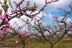 Scenisk persikafruktträdgård Royaltyfri Foto