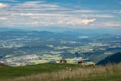 Scenisk sikt över sydostliga Österrike med sjöar och berg i avståndet och kor i förgrunden arkivfoto