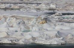 Scenisk sikt av arktisk isisflak med den polara moderbjörnen och cu två Arkivbilder