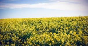 Scenisk sikt av det gula senapsgula fältet Arkivbilder