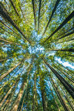Scenisk sikt av det mycket stora och högväxta trädet i skogen i morgonen som ser upp Royaltyfri Foto