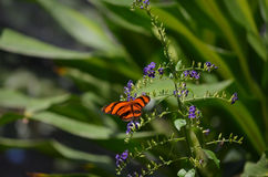 Scenisk sikt av en orange ek Tiger Butterfly Arkivfoto