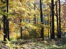Scenisk sikt av färgrika träd i skog i Beskid berglandskap i POLEN Royaltyfria Bilder