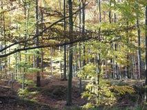 Scenisk sikt av färgrika träd i skog i Beskid berglandskap i POLEN Royaltyfri Bild