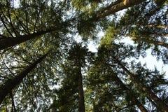 Scenisk sikt av jätte- redwoodträdträd Arkivfoton