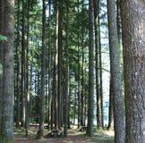 Scenisk sikt av jätte- redwoodträdträd i en parkera Arkivfoto