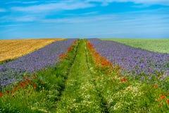 Sceniska kornfält med gränser av blåa och röda blommor arkivbild