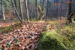 Sceniskt landskap för skogsaga med den urtids- skogen i höst, död trädstam med mossa, lövverk på golv Royaltyfri Fotografi
