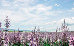 Sceniskt sommarfält av rosa vis man och blå molnig himmel arkivfoton