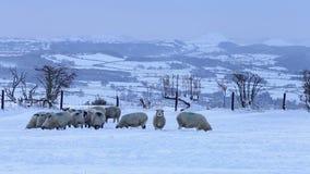 Sceniskt vinterlandskap med betande får i snö arkivfilmer