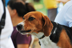 Scent Hound Dog royalty free stock images