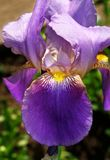 Scent of Iris. Iris flower lit the sun. Its petals are incredibly beautiful and bright Stock Photo