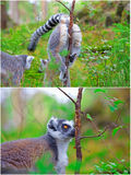 Scent marking. Two pictures of lemurs. A female marking her territory on the first one, and a male finding her scent on the other Royalty Free Stock Photography