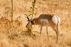 Scent Marking. Male Pronghorn Rubbing Scent Gland on Brush During Rut royalty free stock image