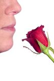 Scent of a rose. A woman's nose smelling a red rose on white Royalty Free Stock Photos