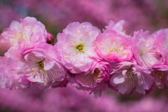 Scent of spring!. Pink flowers of a tree in my garden Stock Photos