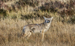 Yellowstone Coyote Senses Something Approaching. Coyote Smells something on the Wind in Yellowstone National Park Stock Photo
