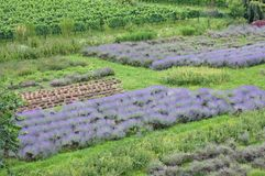 Scented and flowered Lavender field grown by enthusiasts and pat Royalty Free Stock Photography