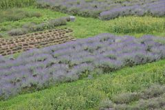 Scented and flowered Lavender field grown by enthusiasts and pat Stock Image