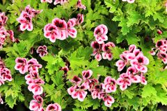 Scented Geranium Pelargonium Crispum in the garden. Beautiful and Scented Geranium Pelargonium Crispum plant in the garden in Spring natural angel growth citrus stock image