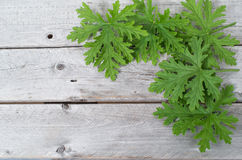 SCENTED GERANIUMS leaves Stock Photo