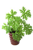 SCENTED GERANIUMS young plant Stock Photography