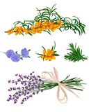 Scented grass with sea buckthorn. On a white background vector illustration