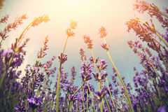 Scented lavender flowers field under blue sky Stock Photo