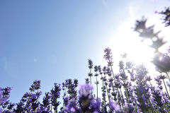 Scented lavender flowers field under blue sky Royalty Free Stock Image