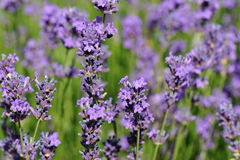 Scented lavender flowers in growth at field Royalty Free Stock Photography