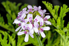 Scented Leaved Pelargonium Royalty Free Stock Images