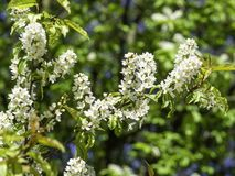 Scented white flowers of hackberry, Prunus padus royalty free stock photo