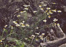 Scentless false mayweed stand in front of tree root. royalty free stock photos