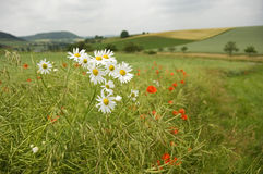 Scentless Mayweed. (Tripleurospermum inodorum) at the edge of a canola field with ripening husks and poppies stock photo