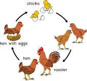 Sceny kurczaka przyrost od jajka dorosły ptak Obraz Stock