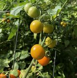 Sceny Pomidorowy przyrost Zdjęcia Royalty Free