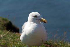 Sceptyczny seagull Fotografia Royalty Free