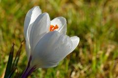 Scepusiensis branco do açafrão do açafrão Foto de Stock