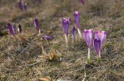 Scepusiensis do açafrão na montanha de Gorce Imagem de Stock
