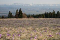 Scepusiensis do açafrão na montanha de Gorce Fotografia de Stock Royalty Free