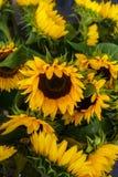 Schöne dekorative Sonnenblumen benutzt für die Herstellung von Blumensträußen stockbild