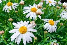 schöne Gänseblümchenblumen mit ihren weißen Blumenblättern legen das gelbe Auge am Garten auf einem Hintergrund des grünen Grases stockfotografie