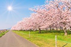 Schöne Kirschblütenbäume oder -kirschblüte, die im Frühjahr neben dem Tag der Landstraße blühen stockfoto