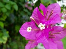 Schöne kleine weiße Blumen und pinkfarbene rosa Blätter stockfotos