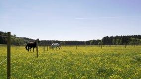 Schöne Pferde braun und weißer Betrieb, spielend und lassen auf einem Feld in einer Koppel an einem sonnigen Tag weiden stock video