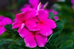 Schöne rosa Blume im Garten, der Liebe und Leidenschaft anspornt stockbild