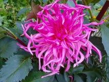 Schöne rosafarbene Dahlie lizenzfreie stockbilder