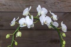 Schöne weiße Orchidee in einem Blumentopf - Phalaenopsis stockbild