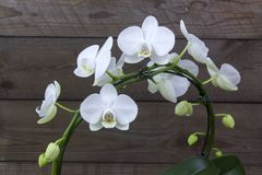 Schöne weiße Orchidee - Phalaenopsis stockfoto